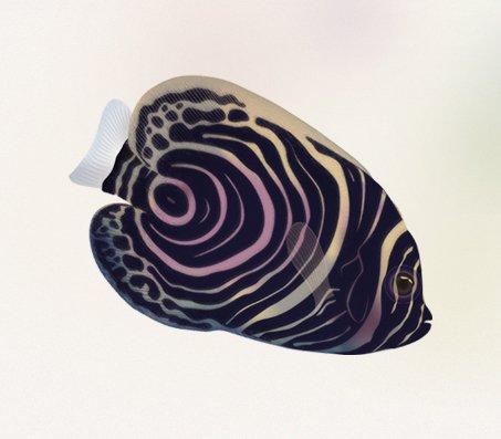 Ange de mer impérial ou Poisson-ange empereur (Pomacanthus imperator)
